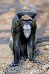 白臀长尾猴特写