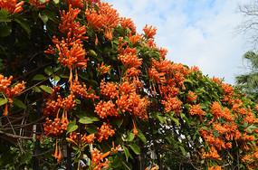 橙色的鞭炮花