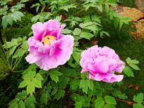 盛开的粉色牡丹花