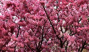 樱花盛开高清图片