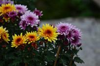 灿烂的菊花花丛