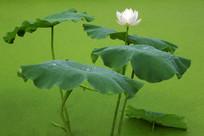 荷塘白莲花