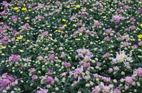 菊花花海风景图片