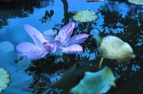 树影荷塘莲花图