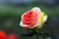 一朵漂亮的玫瑰花