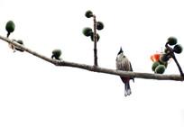 一枝木棉花骨朵枝头上的鸟儿