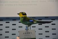 标本长尾阔嘴鸟