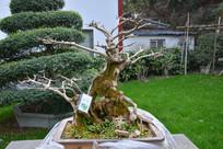 盆景植物枯干式水杨梅