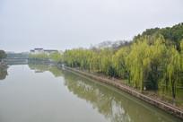 运河岸边杨柳