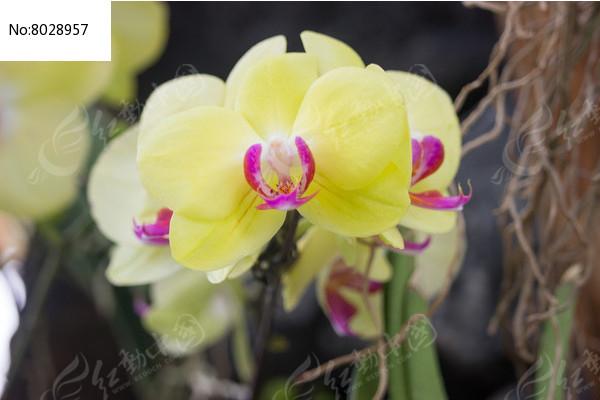 黄色的蝴蝶兰