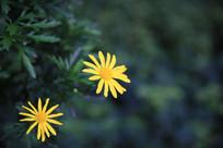 两朵小太阳花