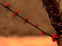 梅花花蕾图片