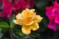 美丽的金球朱槿