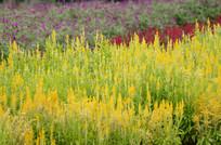 嫩黄的花草风景图片