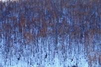 白桦林雪景景观