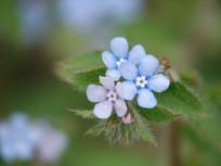 斑种草花朵