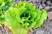 地里的生菜农作物