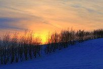 黄昏时的雪原防护林