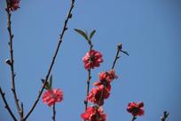 蓝天下盛开的桃花
