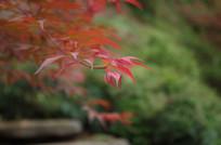 秋天里的红叶