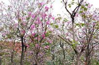 鲜艳的紫荆花树木风景图片