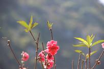 小小的桃花
