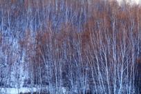 雪染白桦林