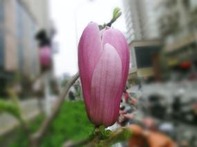 紫玉兰花苞