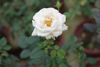 白色玫瑰高清图片
