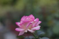 白色紫色渐变玫瑰