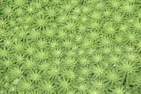 带露珠的绿色植物背景