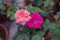 粉色和紫色的玫瑰花高清图片