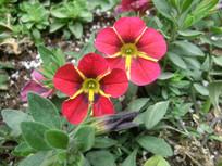 红色喇叭花