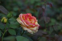 黄色的玫瑰花高清图片