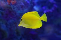 黄色海水鱼