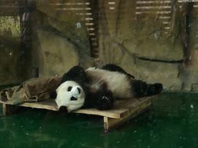 懒懒的大熊猫