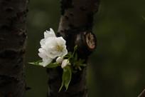 盛开的白梨花