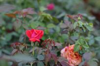 一朵红色玫瑰花