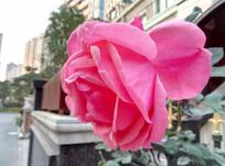 一朵紫色洋玫瑰