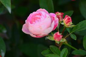一颗含苞的月季花