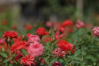 一片红色的玫瑰花高清图片