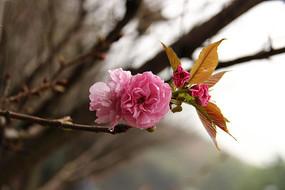 雨后盛开的樱花