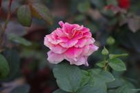 紫红色的玫瑰花高清图片
