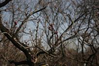含蕾待放的桃花树