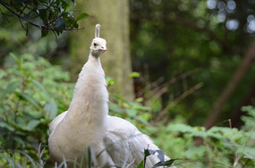 美丽的白孔雀