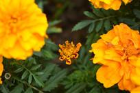 橙色的小花苞