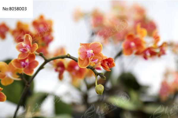 橙色蝴蝶兰
