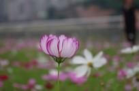 粉色格桑花