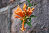 橘黄色的鞭炮花