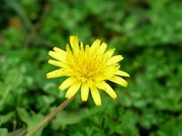 黄色蒲公英花朵